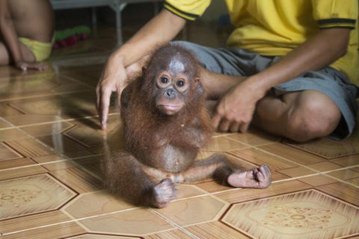 bebe orangutan no para de abrazarse 01