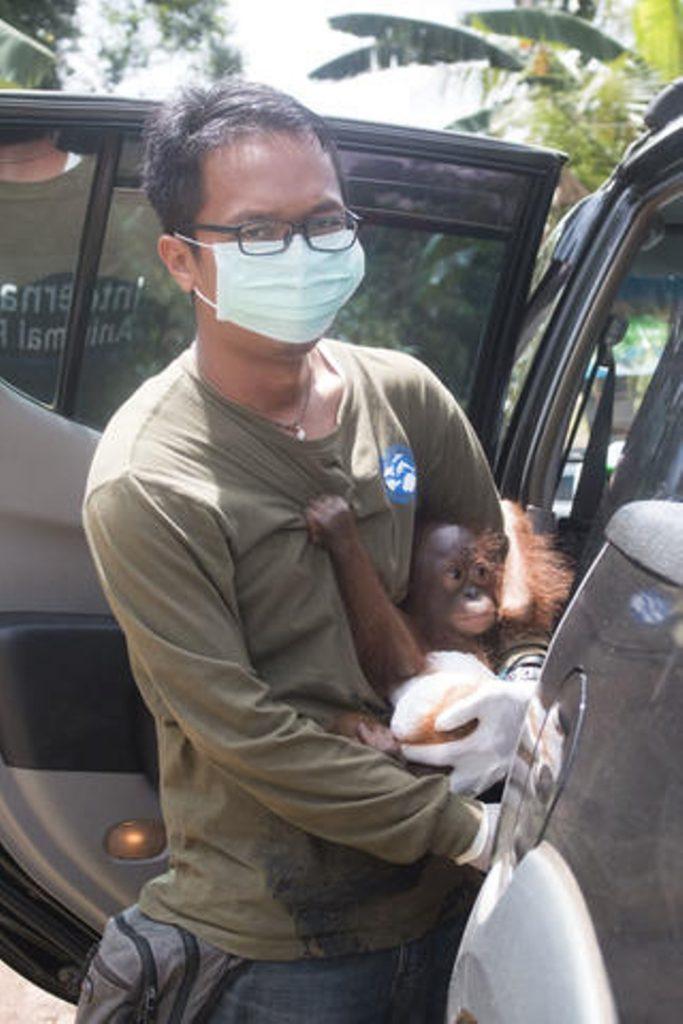 bebe orangutan no para de abrazarse 02