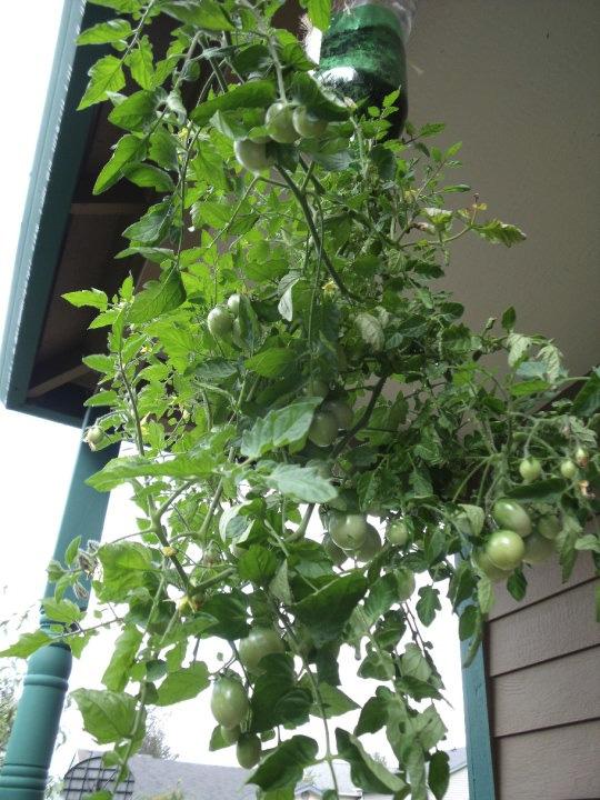 plantar tomates botellas plastico 15