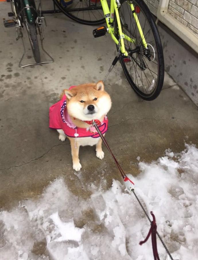 Esta Enfurruñada Shiba Inu Se Niega a salir de Casa con el Frío que hace