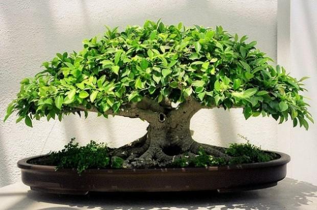 Como hacer crecer tu propio bonsai con una semilla 00