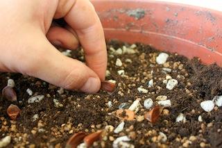 Como hacer crecer tu propio bonsai con una semilla 03