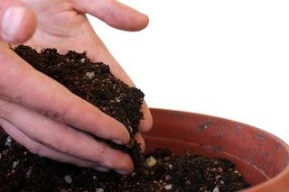 Como hacer crecer tu propio bonsai con una semilla 04