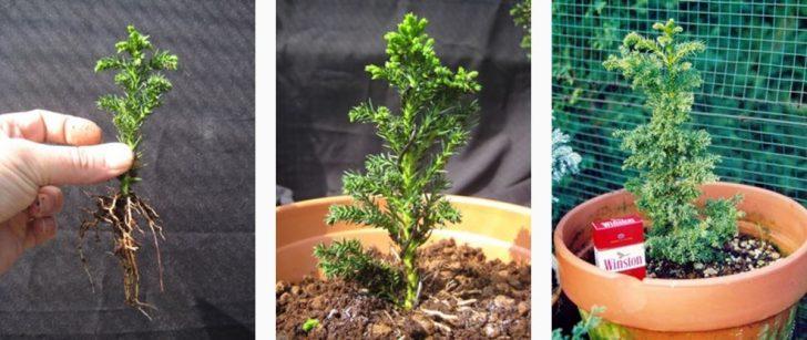 Como hacer crecer tu propio bonsai con una semilla 05