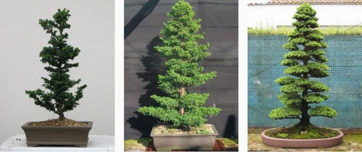 Como hacer crecer tu propio bonsai con una semilla 06