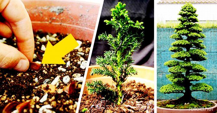 Como hacer crecer tu propio bonsai con una semilla banner