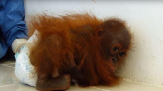 bebe orangutan no para de abrazarse 03