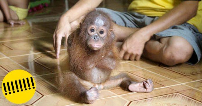 bebe orangutan no para de abrazarse banner
