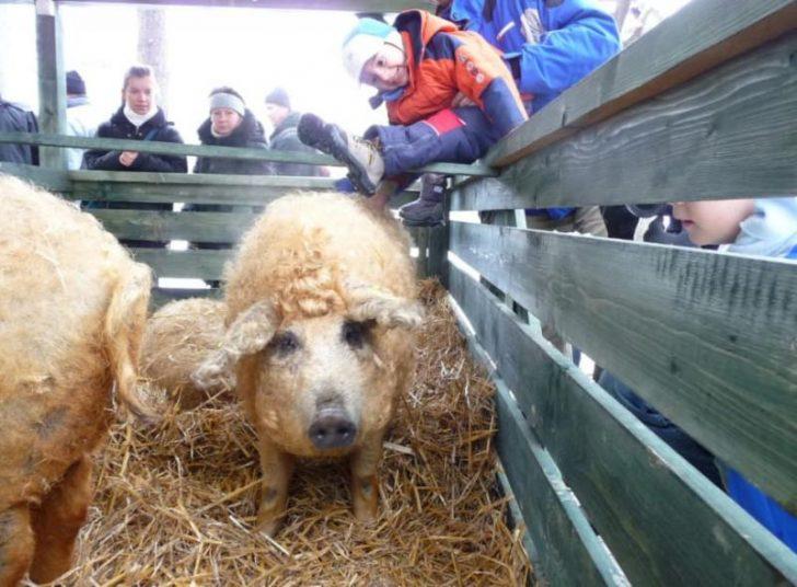 Sacó una Fotografía de Su cerdo. Sin embargo, Cuando te acerques, verás algo Fascinante