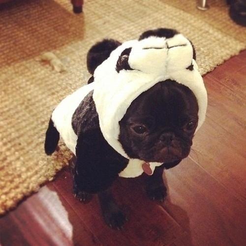 Un Astuto perro pone patas arriba Internet escondiéndose entre una multitud de Pandas