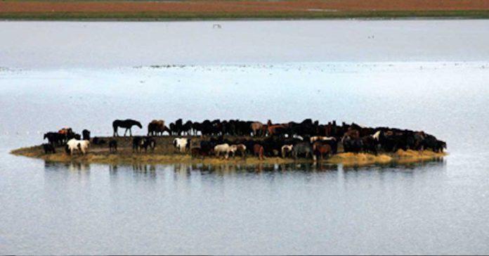 100 caballos atrapados en esta isla son rescatados por un grupo femenino de heroinas banner