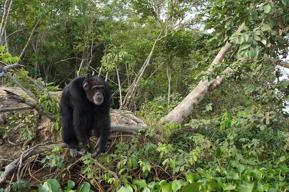 Chimpance abandonado 01
