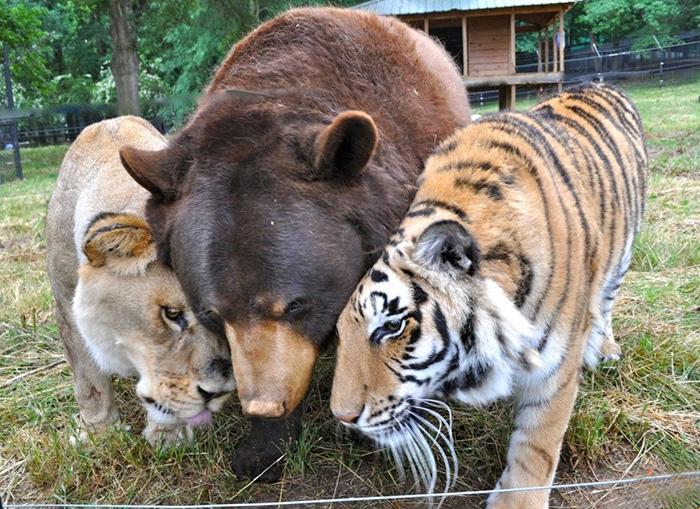 Este Oso Leon y tigre no se han separado durante 15 anos 01