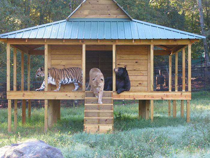 Este Oso Leon y tigre no se han separado durante 15 anos 02