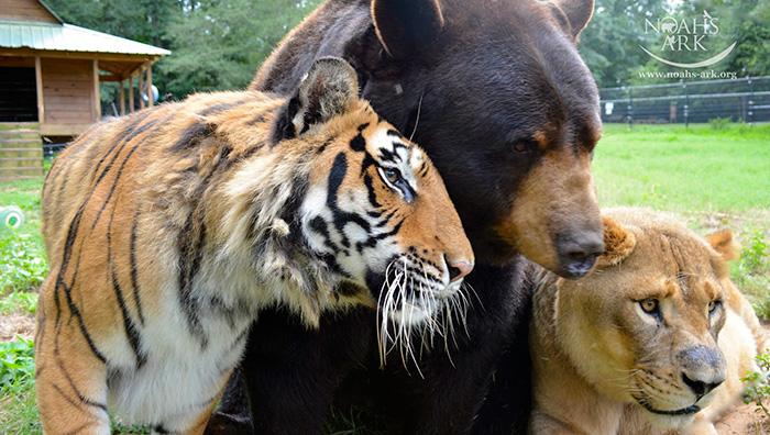 Este Oso Leon y tigre no se han separado durante 15 anos 03