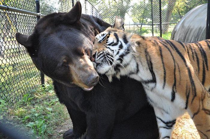 Este Oso Leon y tigre no se han separado durante 15 anos 05