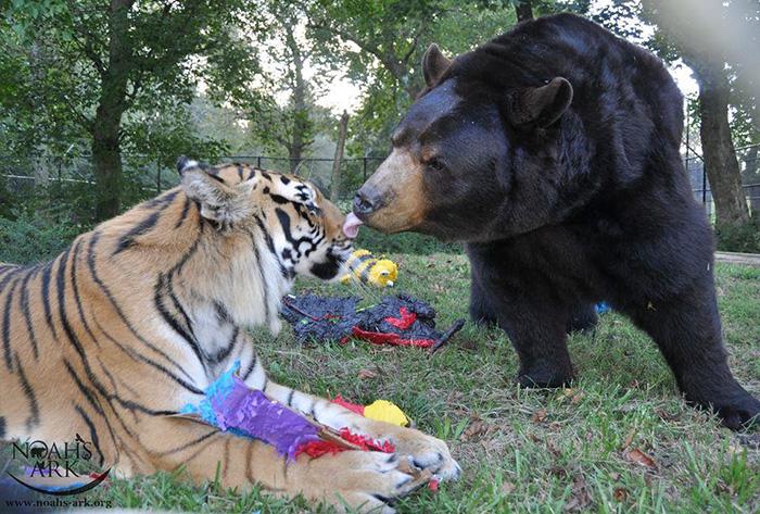 Este Oso Leon y tigre no se han separado durante 15 anos 07
