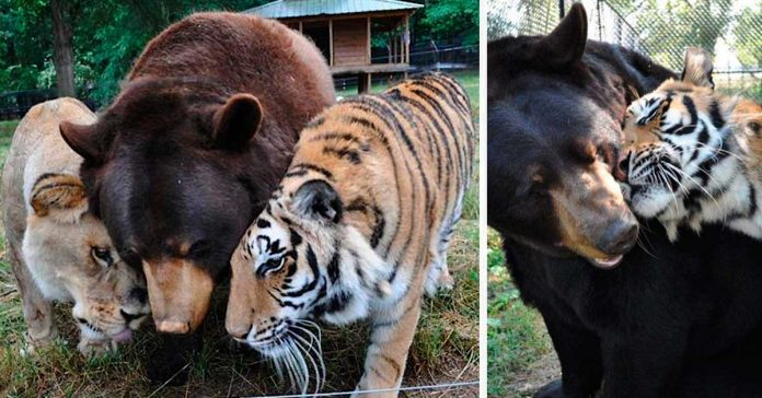 Este Oso Leon y tigre no se han separado durante 15 anos banner