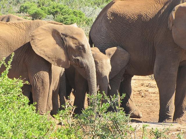 La mayoría de los animales no tienen las abuelas. Pero los elefantes Sí. ¡Y lo que hace su abuela es Impresionante!