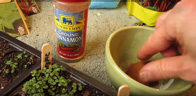 espolvorea canela plantas hongos 01