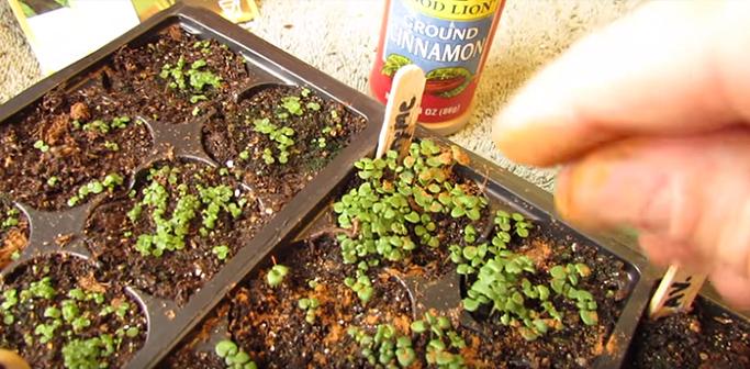 espolvorea canela plantas hongos 02