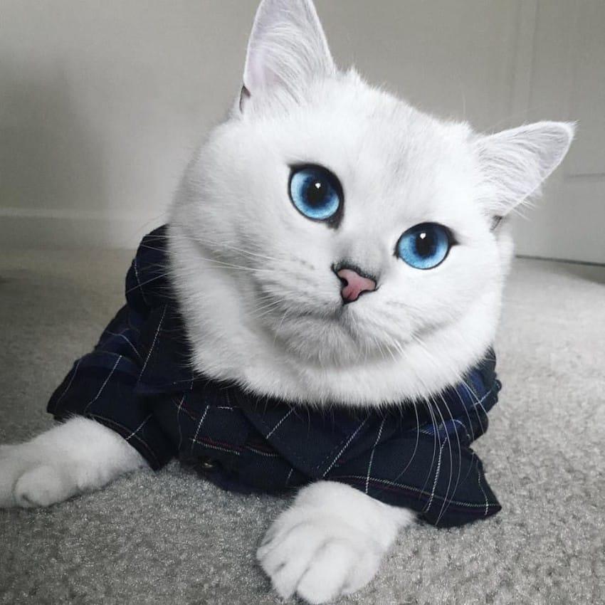 El gato con los ojos azules más hipnóticos que verás jamás.