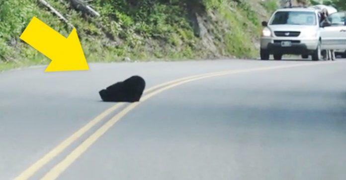 pareja de oseznos peleandose carretera video banner