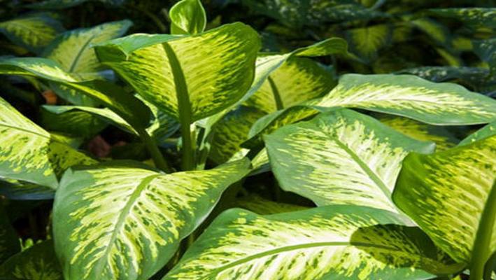 ¡Mucho Cuidado! Esta Planta puede quitarle la vida a un Niño en Menos de 1 minuto