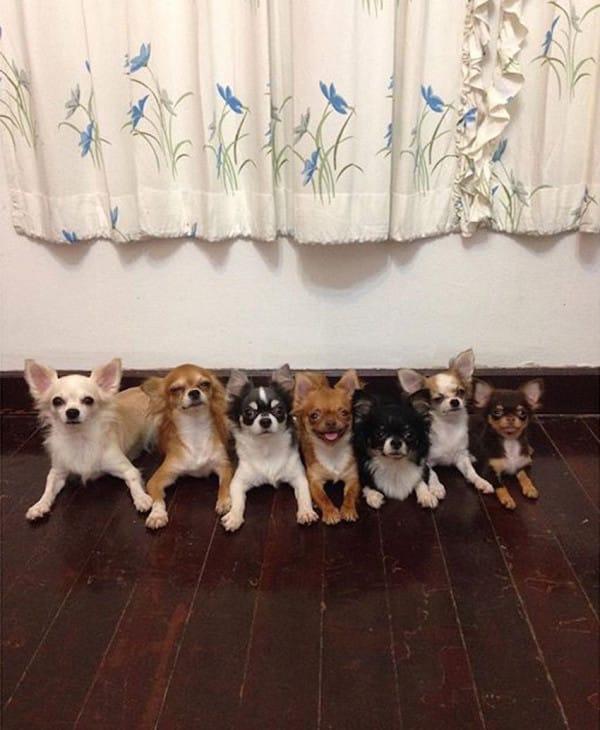 """Estos 7 Chihuahuas viven bajo el mismo techo, Pero espera a ver a quién llaman """"Papá""""..."""