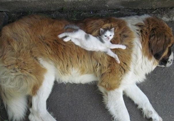 25 Gatos aprovechándose de sus grandes amigos peludos