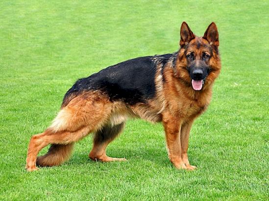 500 Asi eran los Perros hace mas de 100 anos 16