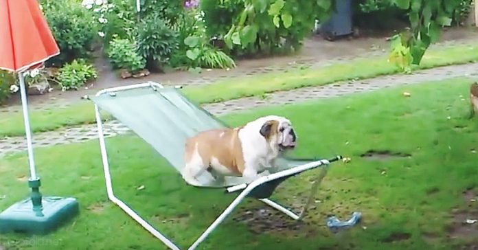 bulldog hamaca jugando lluvia jardin banner