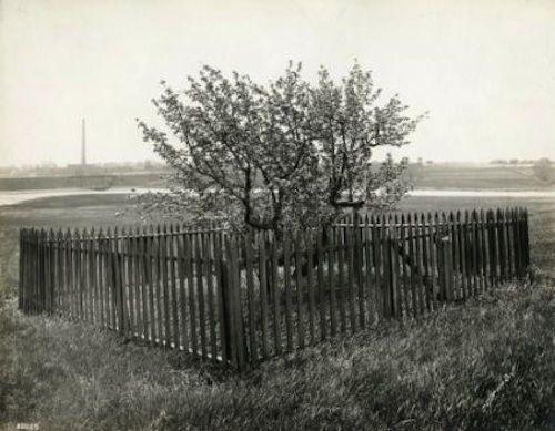 Construyeron una valla alrededor de este arbol hace decadas 01