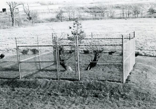 Construyeron una valla alrededor de este arbol hace decadas 07