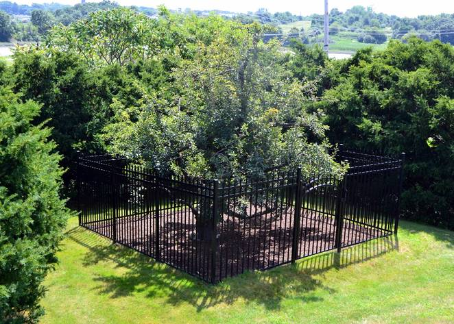 Construyeron una valla alrededor de este arbol hace decadas 10