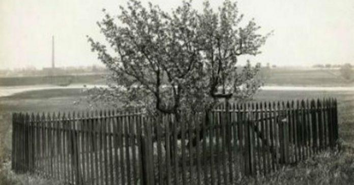 Construyeron una valla alrededor de este arbol hace decadas banner