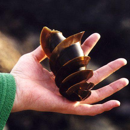 Unas espirales se viralizan al aparecer cada vez con más frecuencia en las playas