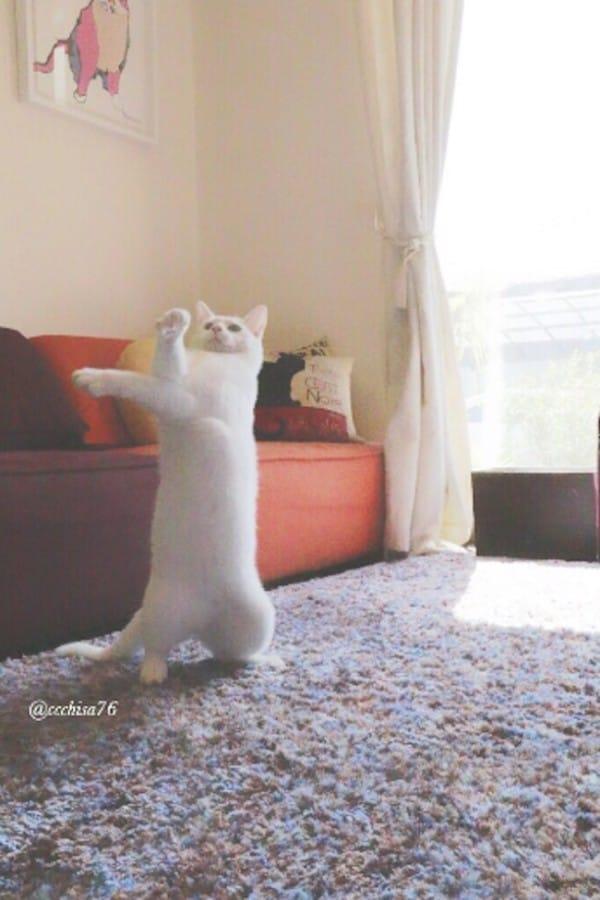 Este Gato maravilla a todos con sus Movimientos de Ballet