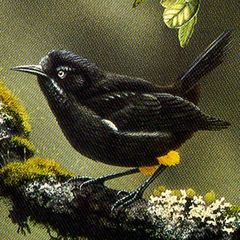 Esta increíble ave se ha extinguido. Y su impresionante melodía es algo que jamás habías oído antes...