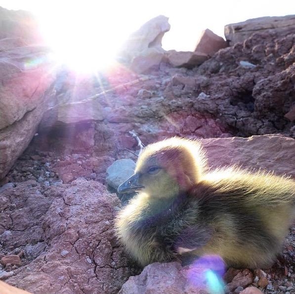 Este pequeño ganso rescatado se une a las aventuras de su padre adoptivo
