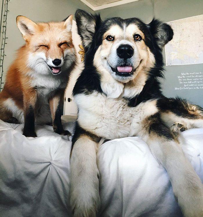 Este zorro se convirtio en el mejor amigo del Perro 01