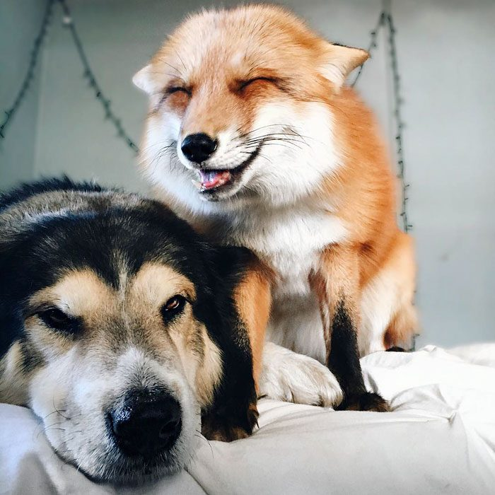 Este zorro se convirtio en el mejor amigo del Perro 05