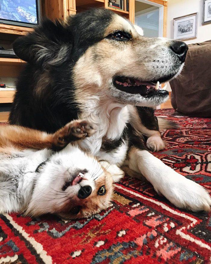 Este zorro se convirtio en el mejor amigo del Perro 08