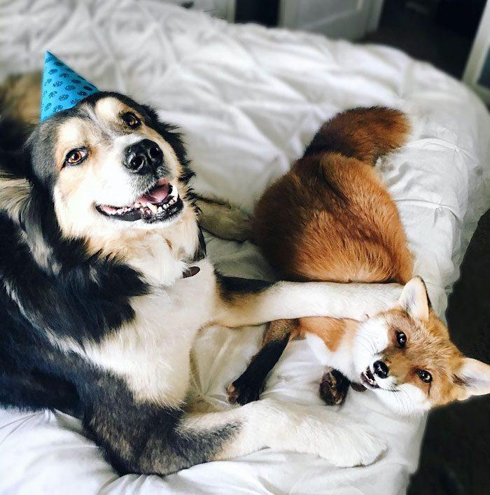 Este zorro se convirtio en el mejor amigo del Perro 09
