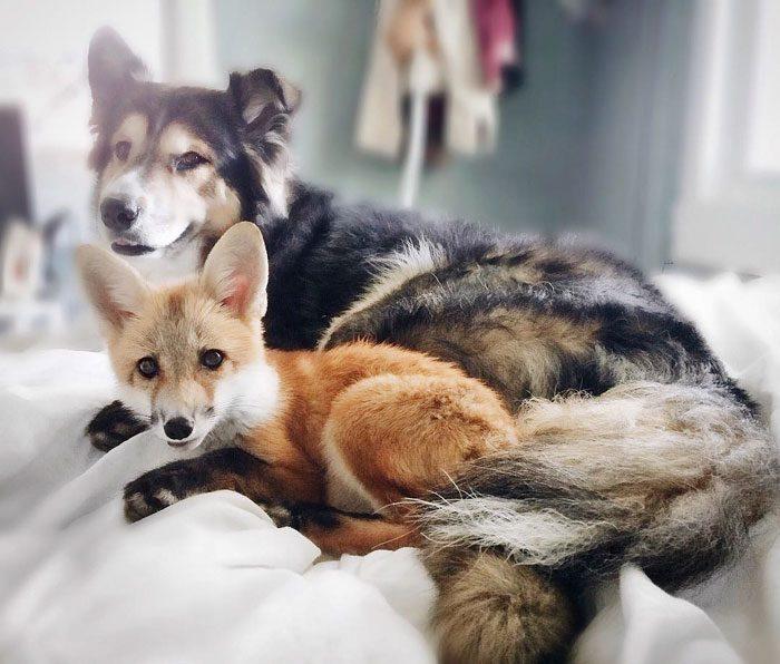 Este zorro se convirtio en el mejor amigo del Perro 10