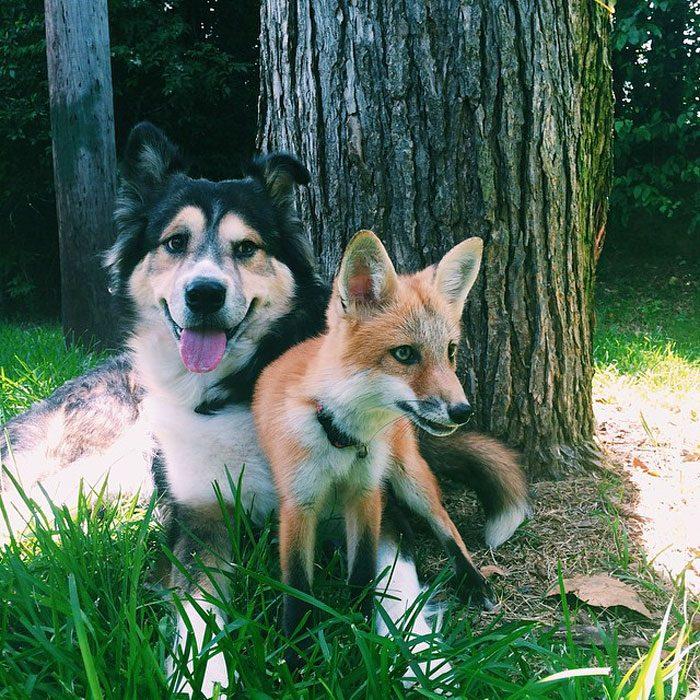 Este zorro se convirtio en el mejor amigo del Perro 11