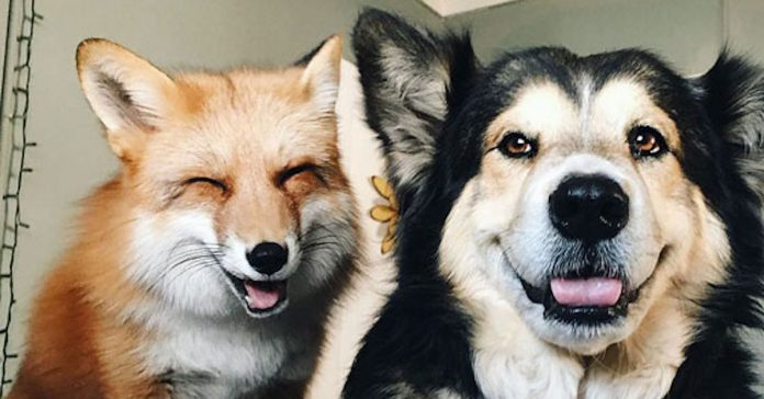 Este zorro se convirtio en el mejor amigo del Perro banner