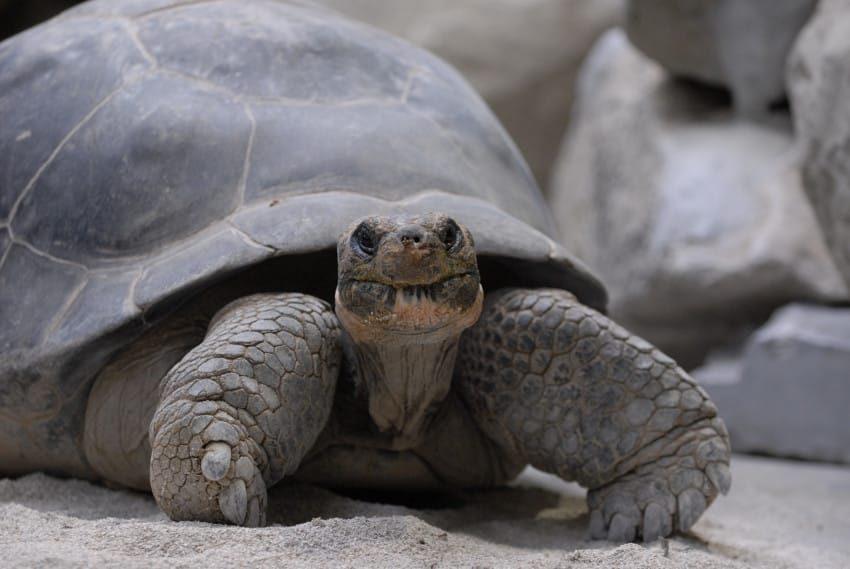 Galapagos-Riesenschildkröte; Geochelone nigra; Nigrita