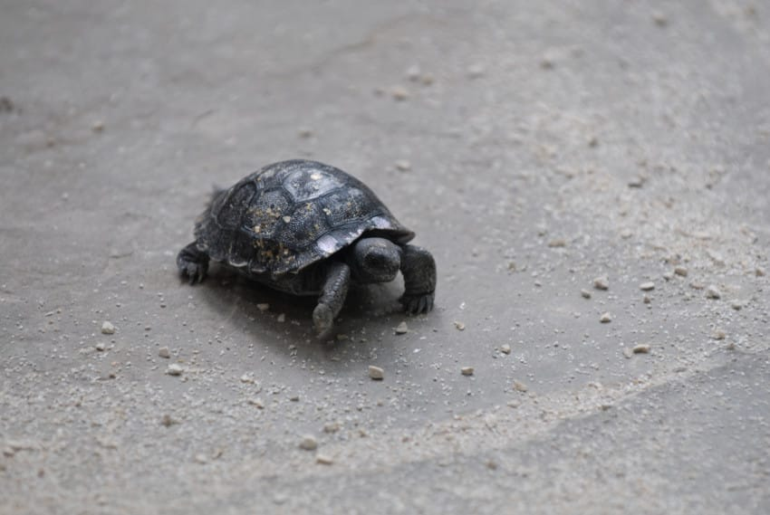 Tortuga de 80 anos tuvo un bebe 02