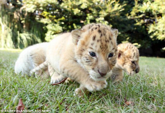 Un Leon blanco y una tigresa tuvieron bebes 03